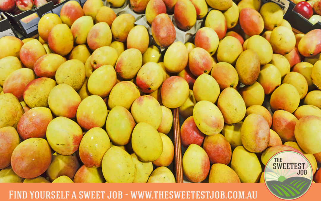 Pick yourself a sweet job – in the NT's Mango Industry
